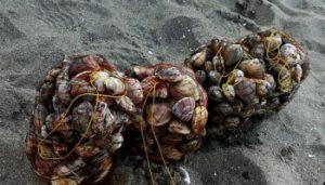 潮干狩り 天然アサリ